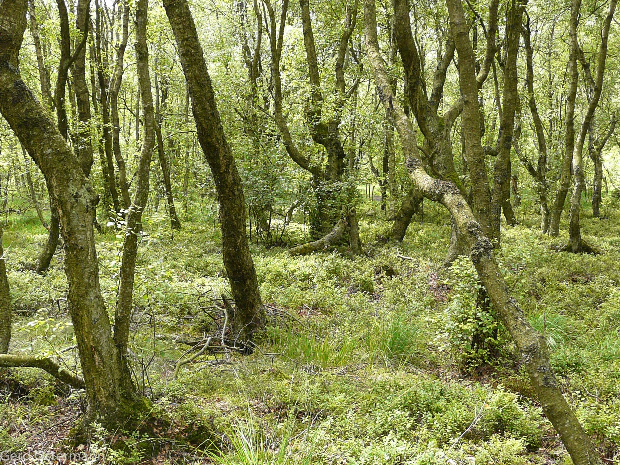 Moorwald im Bragphenn bei Ormont