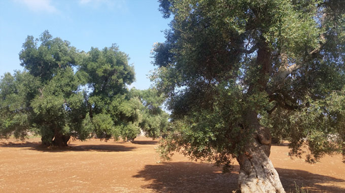 Among century olive trees