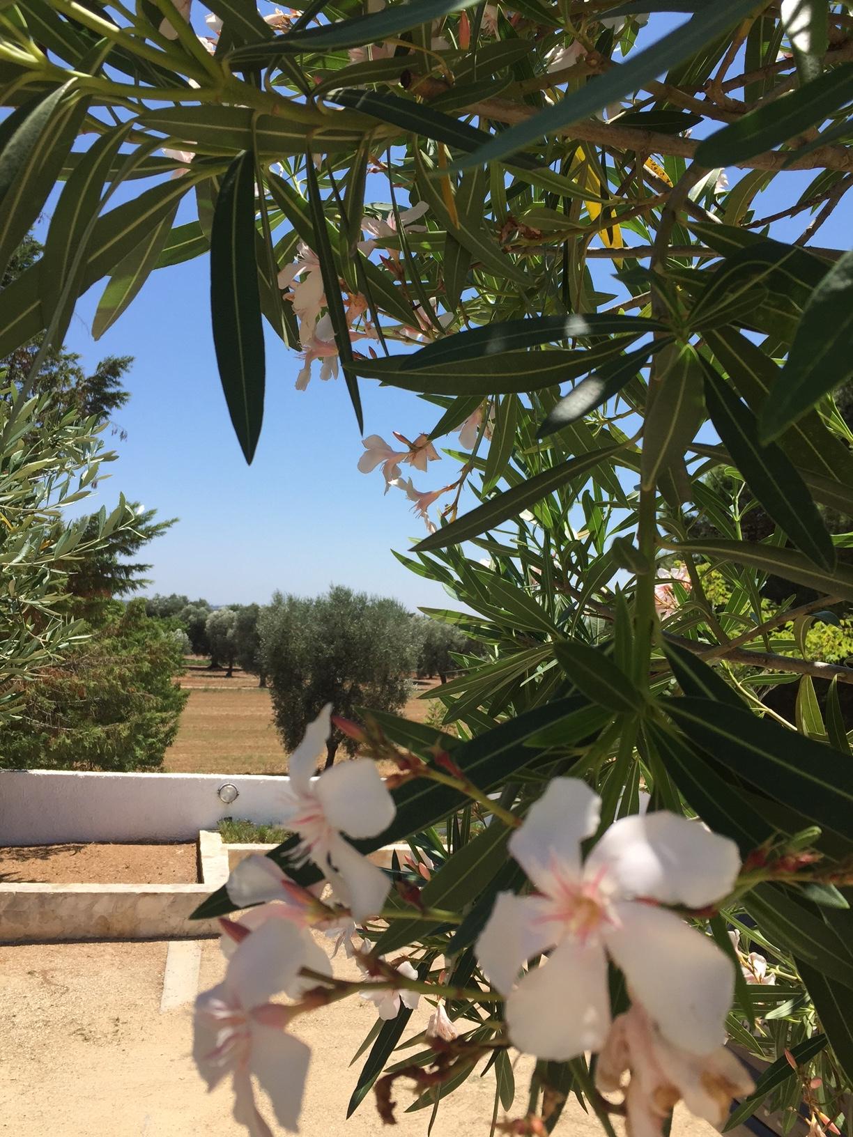 Lecce 6 - Vue sur les oliviers et le jardin