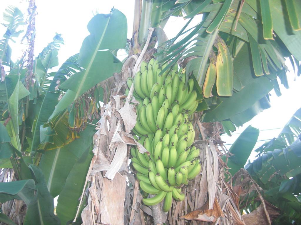 庭のバナナ
