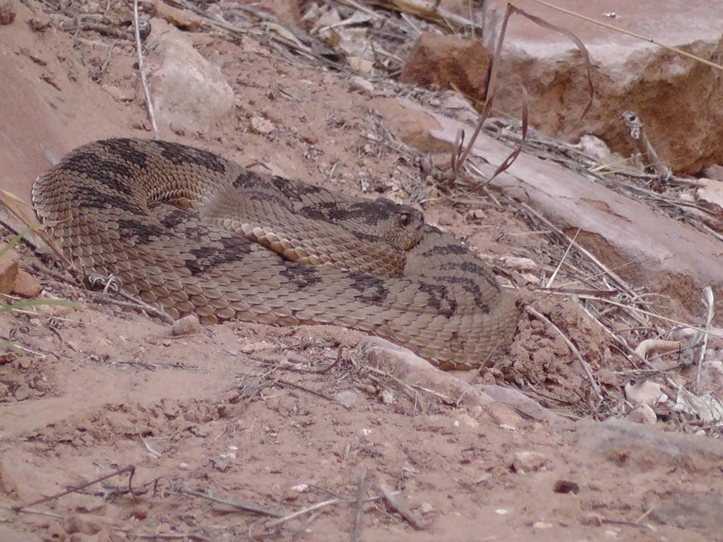 Rattlesnake oder Rattlesnail?