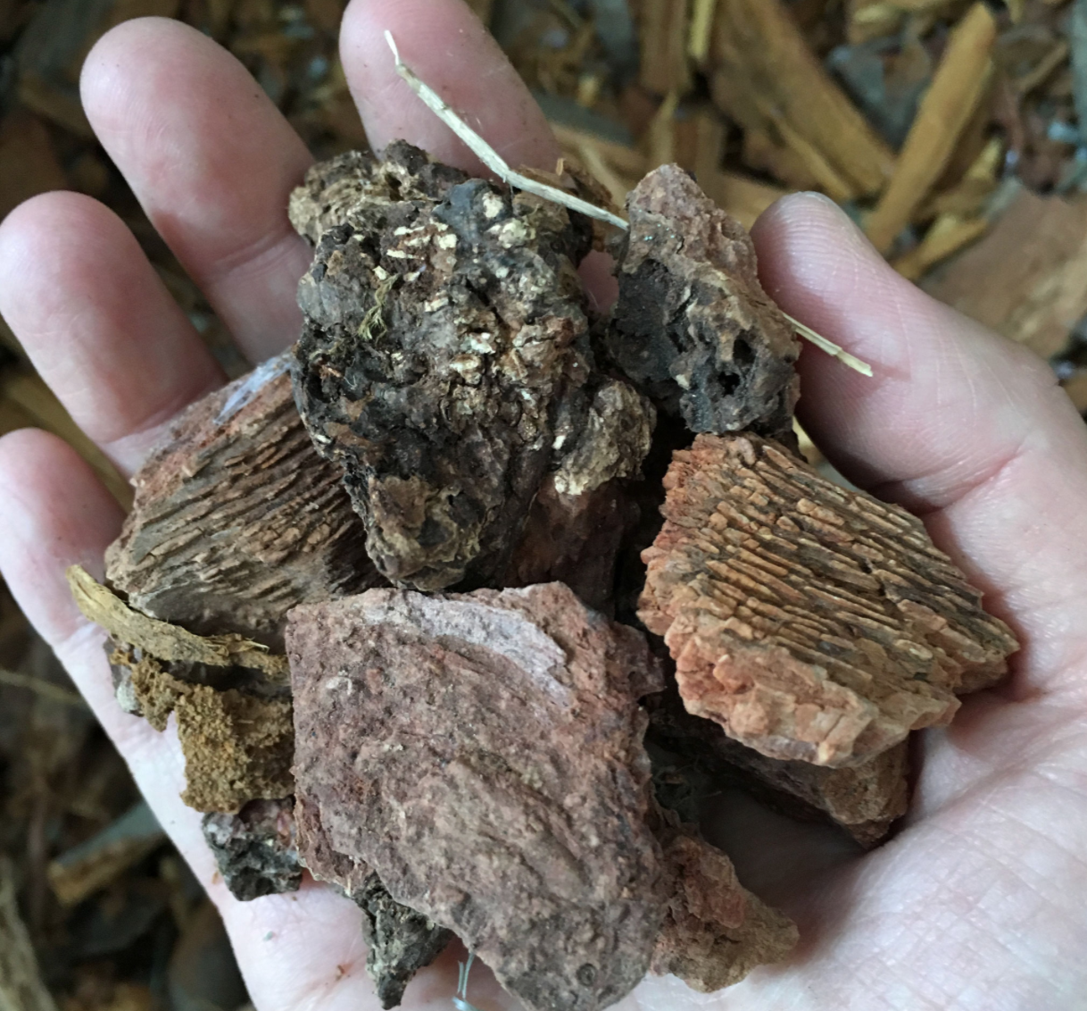 Caesalpinien Holz