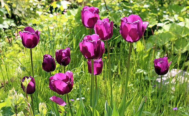 Die Tulpen haben wir gepflanzt ... leider überleben sie selten mehr als eine Saison