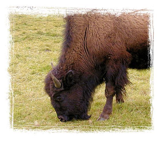 Die Grösse der Bisons beeindruckt uns immer wieder