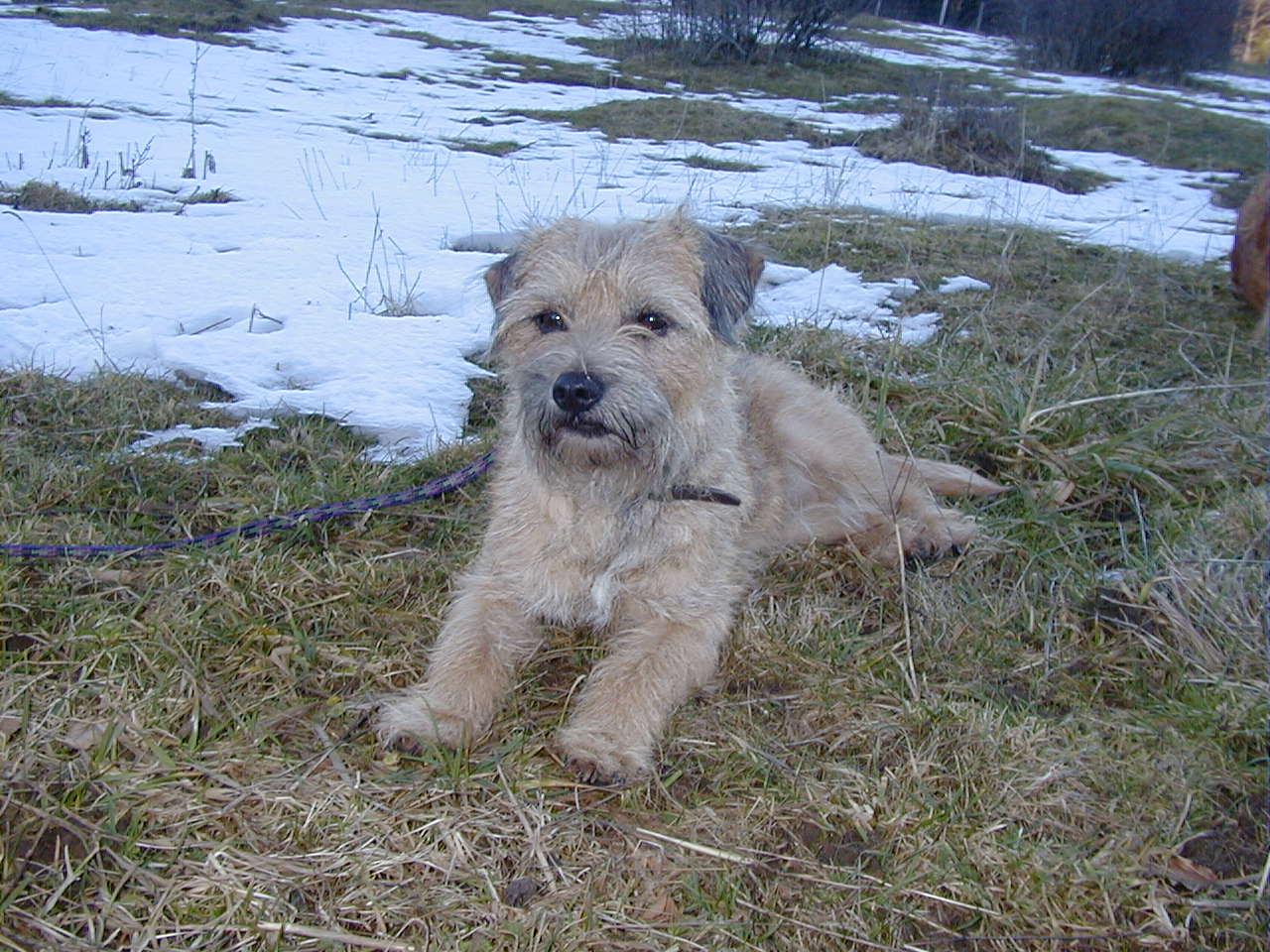 Jessy war eine besonders führige Border Terrierhündin ... ohne den sprichwörtlichen Terrierkopf