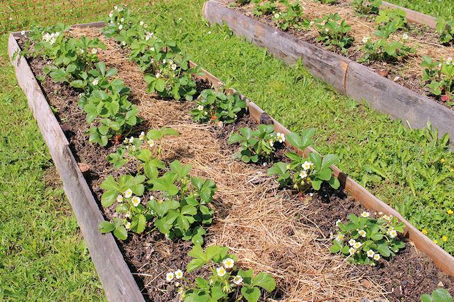 Unsere Erdbeeren blühen erst im Juni ... und Erdbeeren essen wir dann jeweils im August