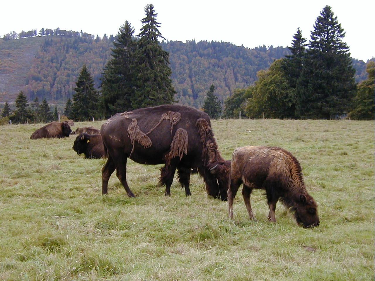 Seit vielen Jahren ein vertrautes Bild ... die Bisons (Büffel) auf der Weide