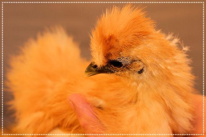 Blondie (Junghenne), gerade mal 7 Wochen alt