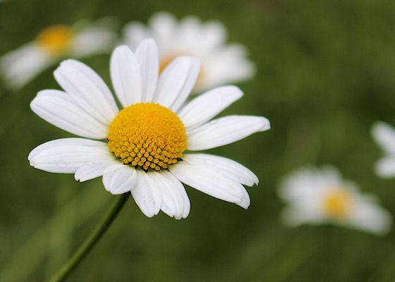 Im Juni blühen die weissen Margriten auf den Magerwiesen rund um unser Chalet