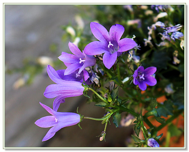 Jedes Jahr im Juni blühen die hellblauen Glockenblumen auf unseren Magerwiesen