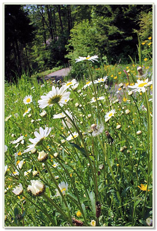 ... und auf die vielen wilden Margriten die überall üppig blühen