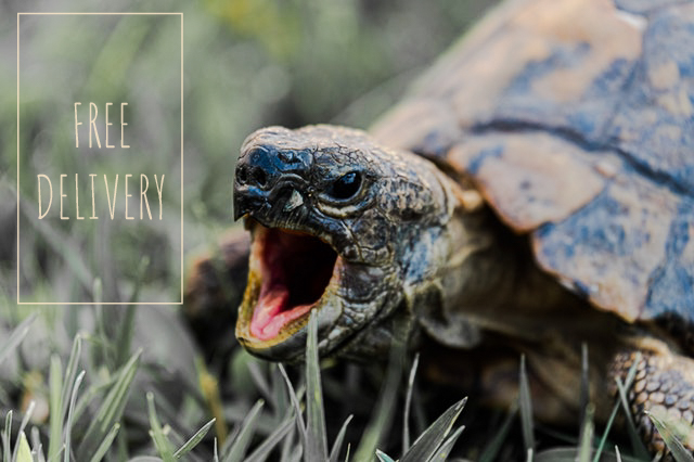 """Turtle excited with mouth open next to box with the text """"Free Delivery"""""""