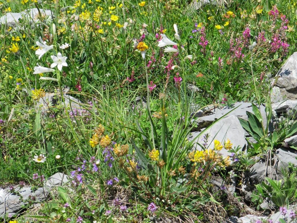 Trichterlilie und viele mehr...