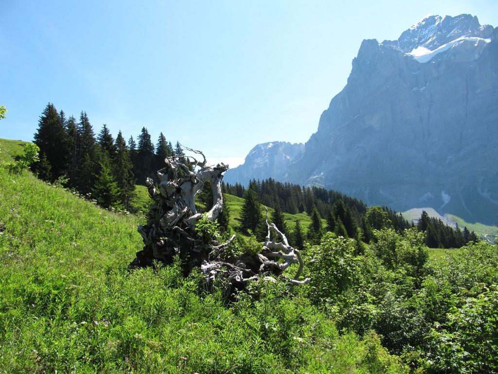 Totholz vor dem Wetterhorn