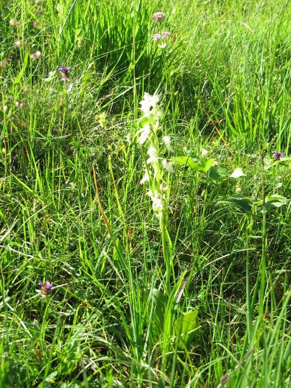 Weisse Orchidee Zweiblättrige Waldhyazinthe