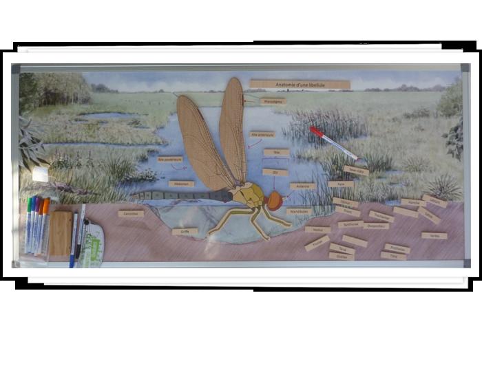 Anatomie d'une libellule