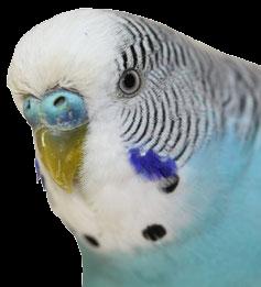 Perruche Ondulée