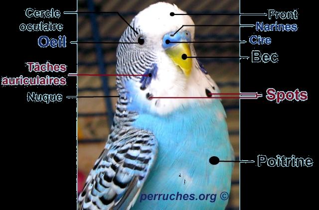 Anatomie de la perruche