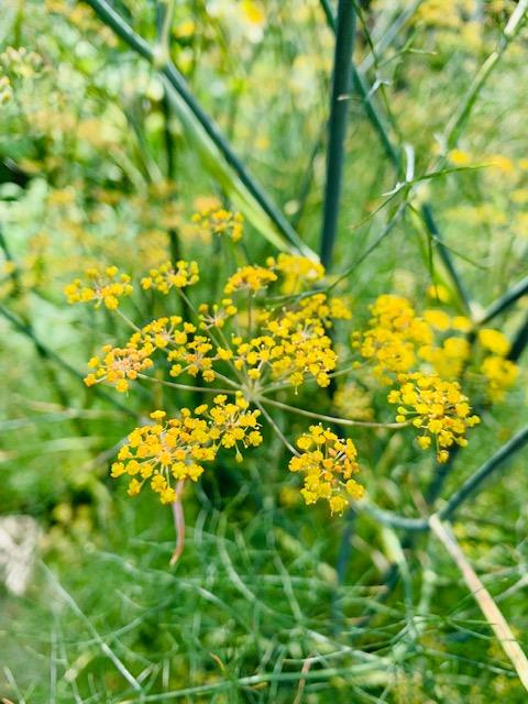 Fenchel eine alte Heilpflanze mit vielen Eigenschaften