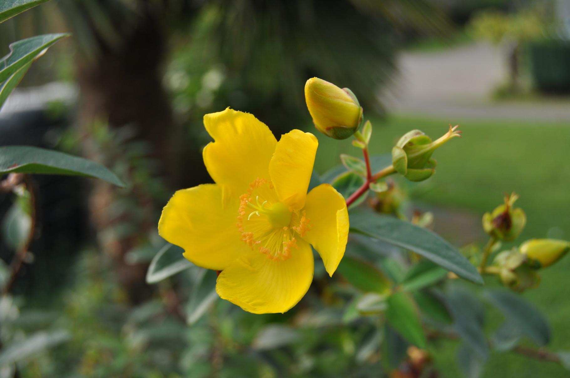 Millepertuis jaune