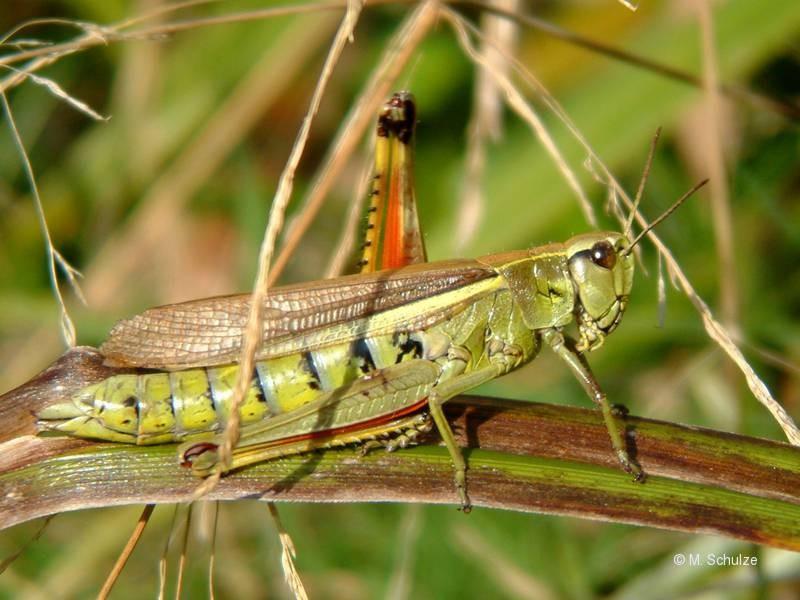 Sumpfschrecke - Stetophyma grossum