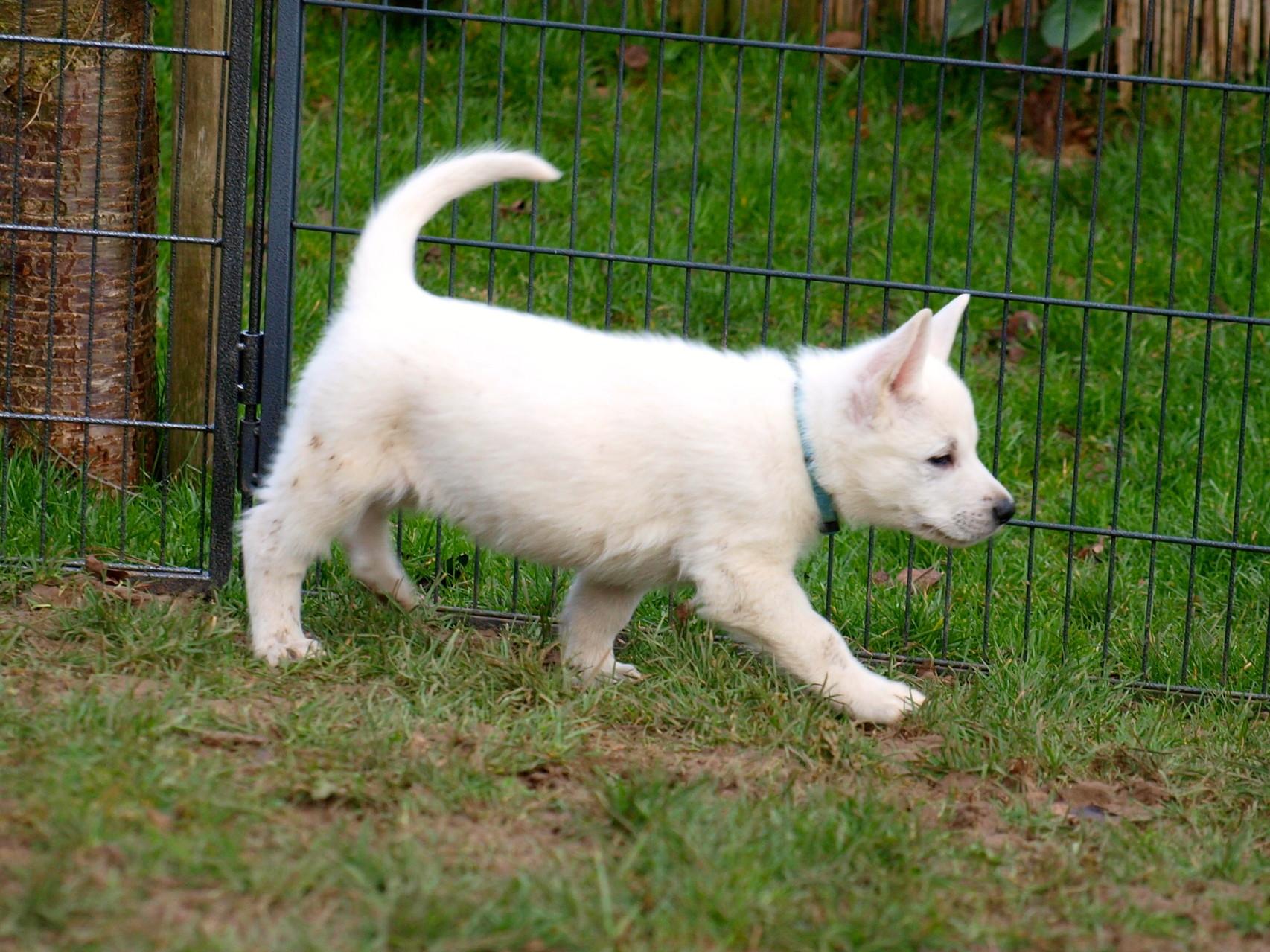 Wer ein richtiger Schäferhund werden will, muss sich anschleichen können