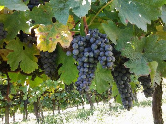 Chateau Rouaud, viticulteur bio