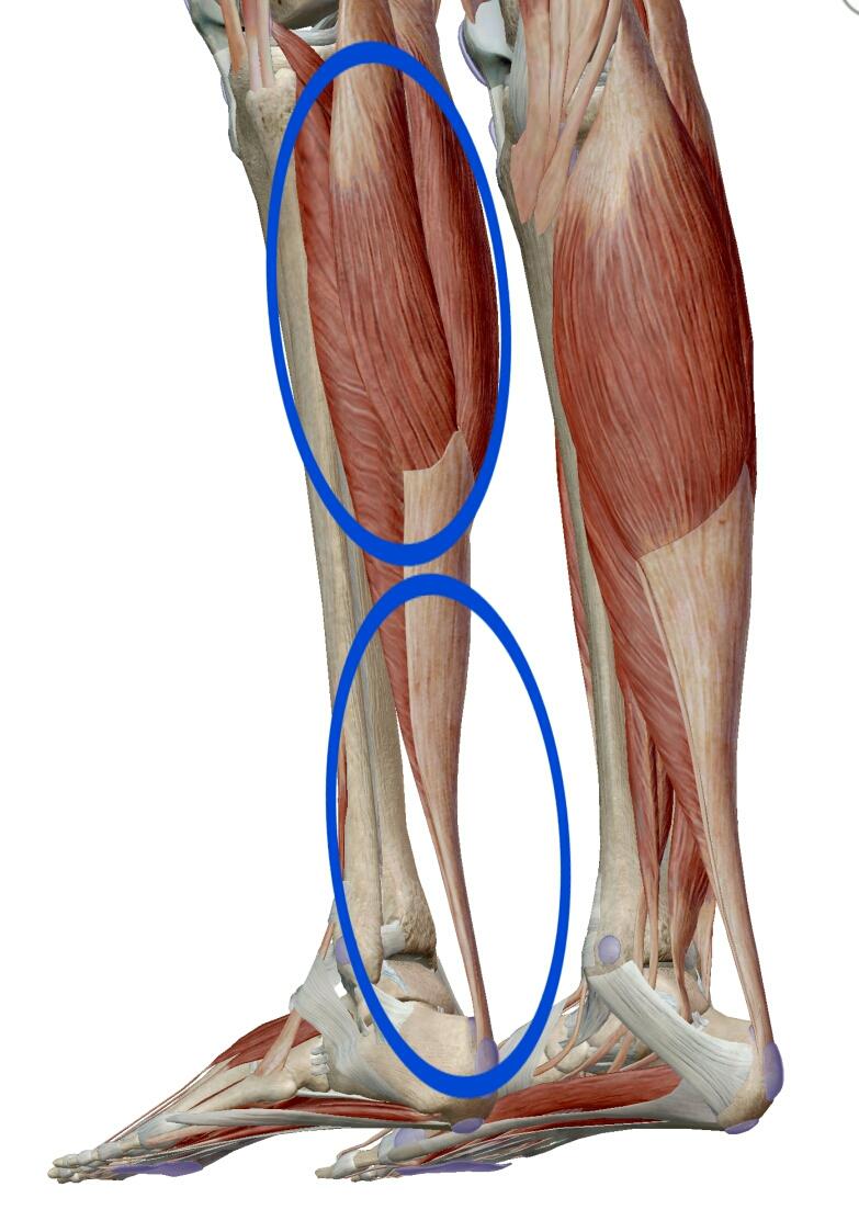 アキレス腱 ふくらはぎ 下腿三頭筋