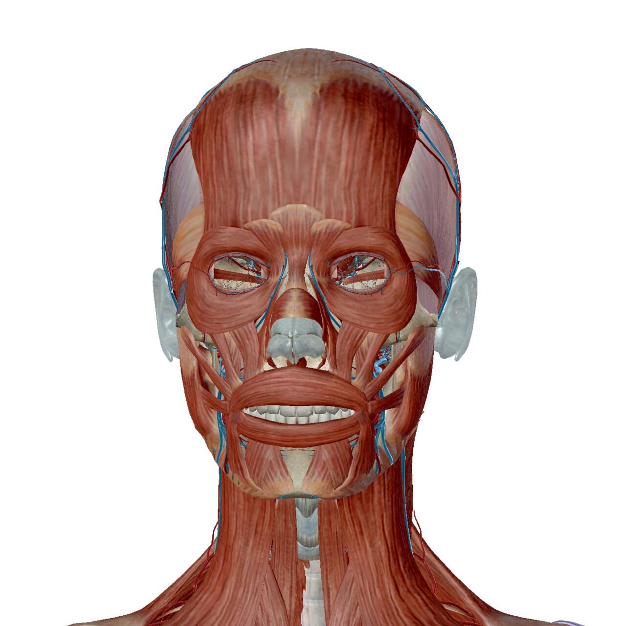 解剖図 表情筋 顔のこり