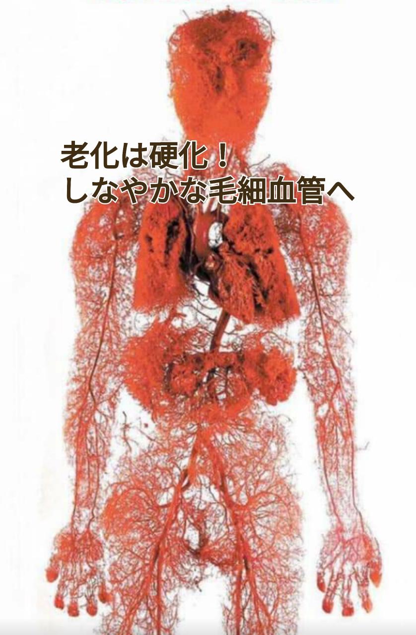 毛細血管 エラスチン 柔軟性 動脈硬化