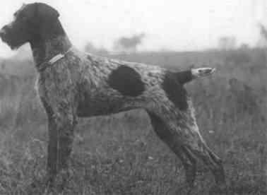 Goda v Saarforst - schönster Hund Stuttgart 1927