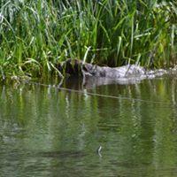 Frei-Verlorensuche; die Ente ist im Schilfwasser und Centa sucht