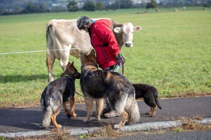 Allgemeinbildung mit Kühen