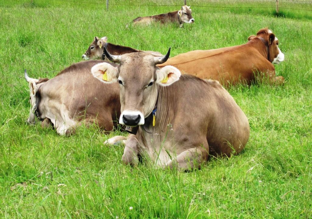 Allgäuer Kühe