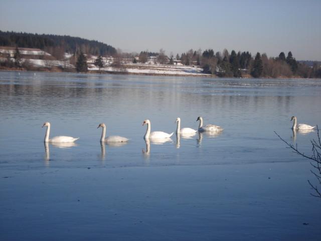 Schwäne auf dem Lechsee
