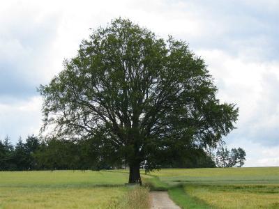 Baum bei Oberkleinich