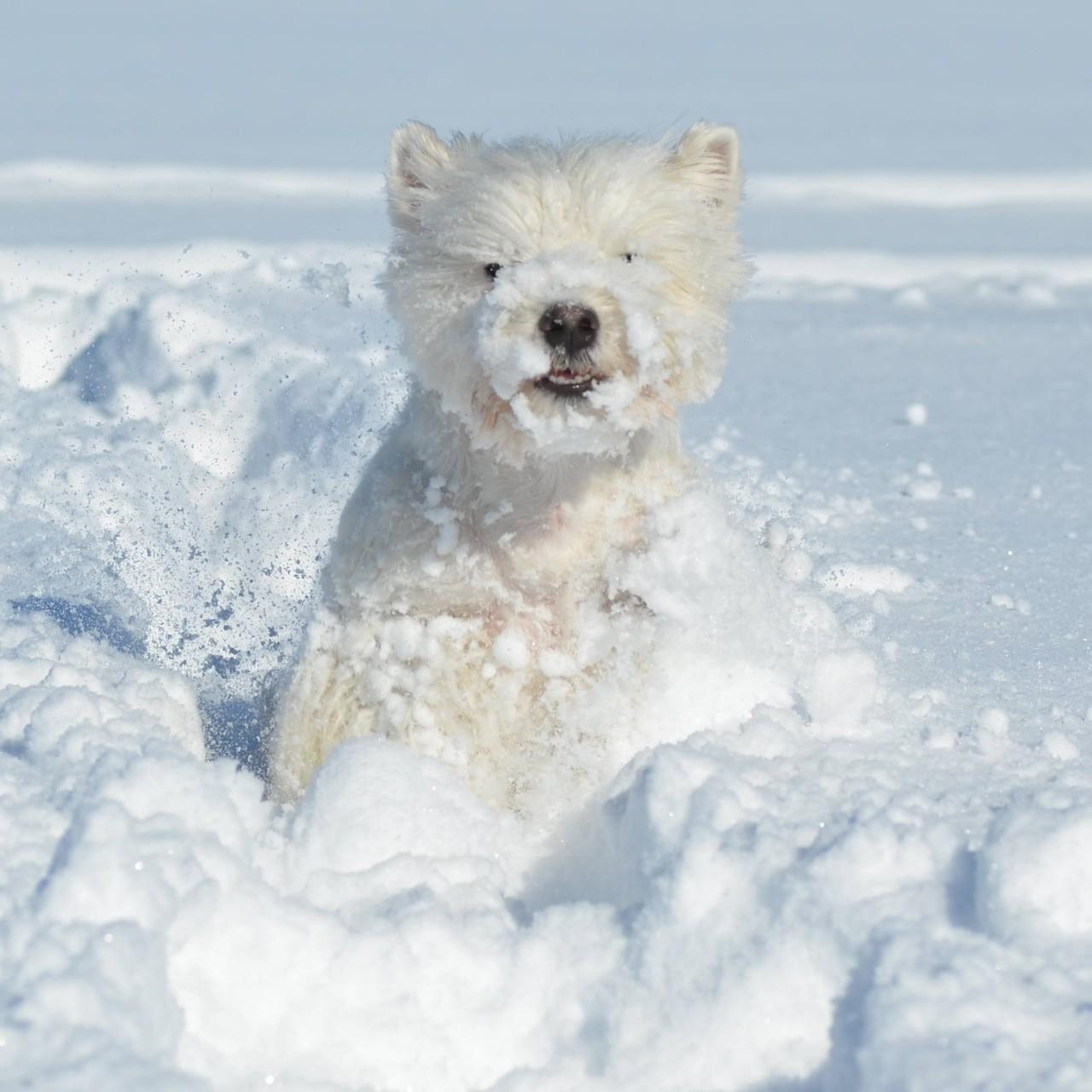 Schneebart *Nayeli*