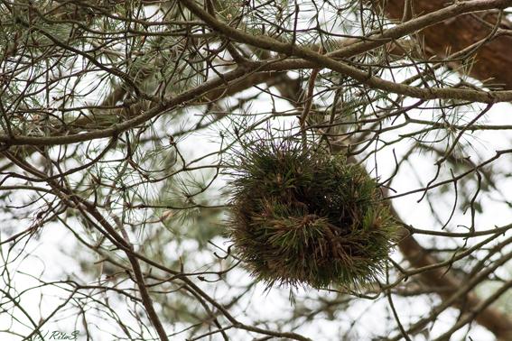 Ein kugelrunder Kobel eines Eichhörnchen - hoch im Baum