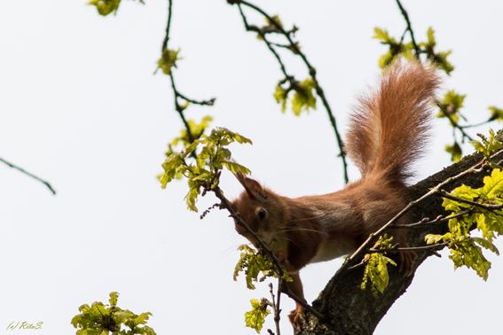 ...für die schönsten Exemplare reckt und streckt sich das Eichhörnchen...