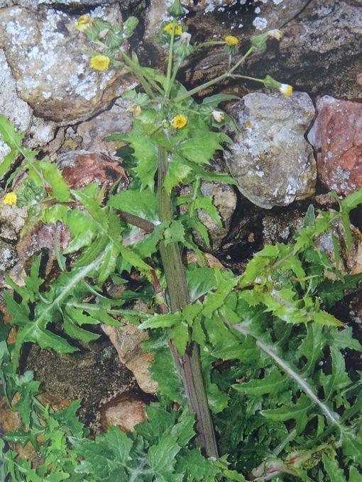 fiche 232 - Sonchus oleraceus