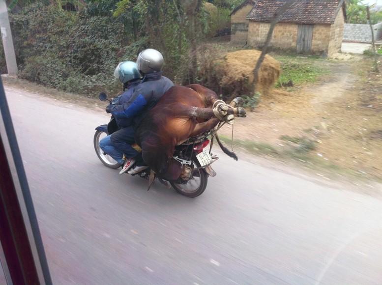 Schon mal eine lebende Kuh auf einem Roller gesehen?!