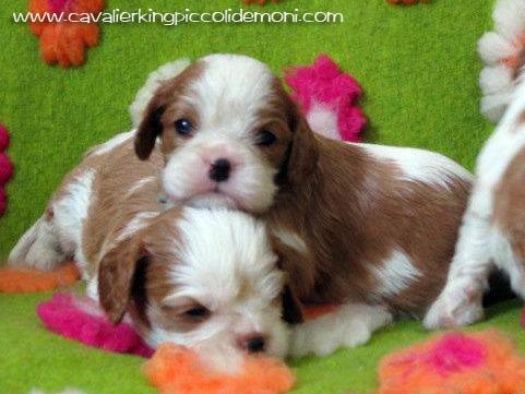 Cucciole Cavalier King figlie di Pascavale Taz.