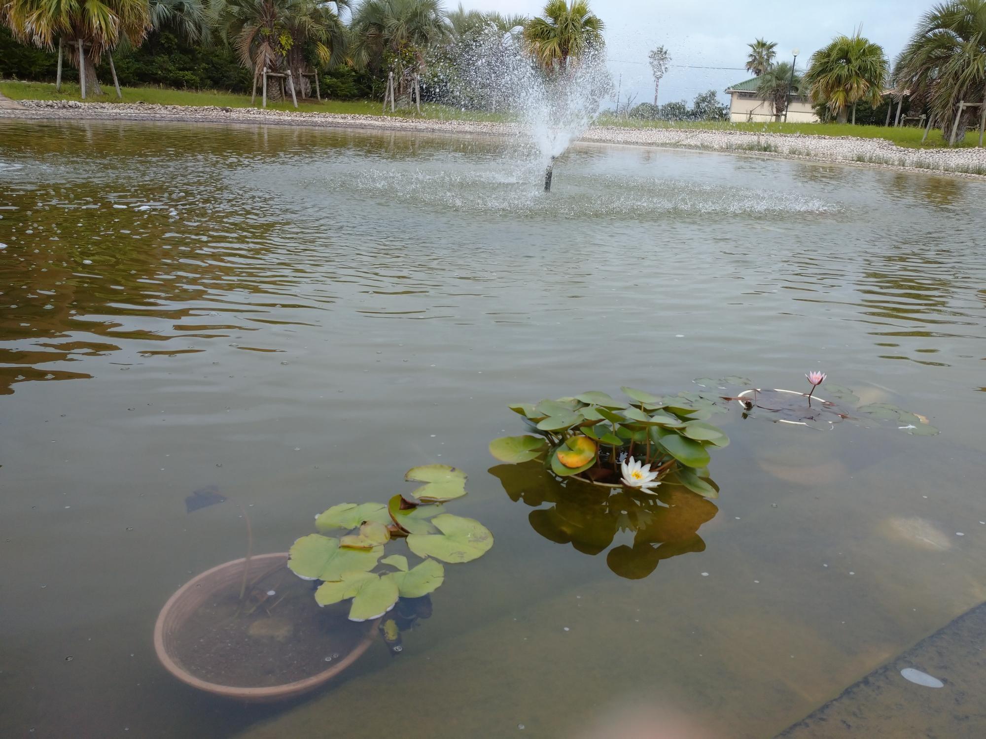 大原幽学記念館の池の睡蓮を大学の池に移植しました(左側の鉢)