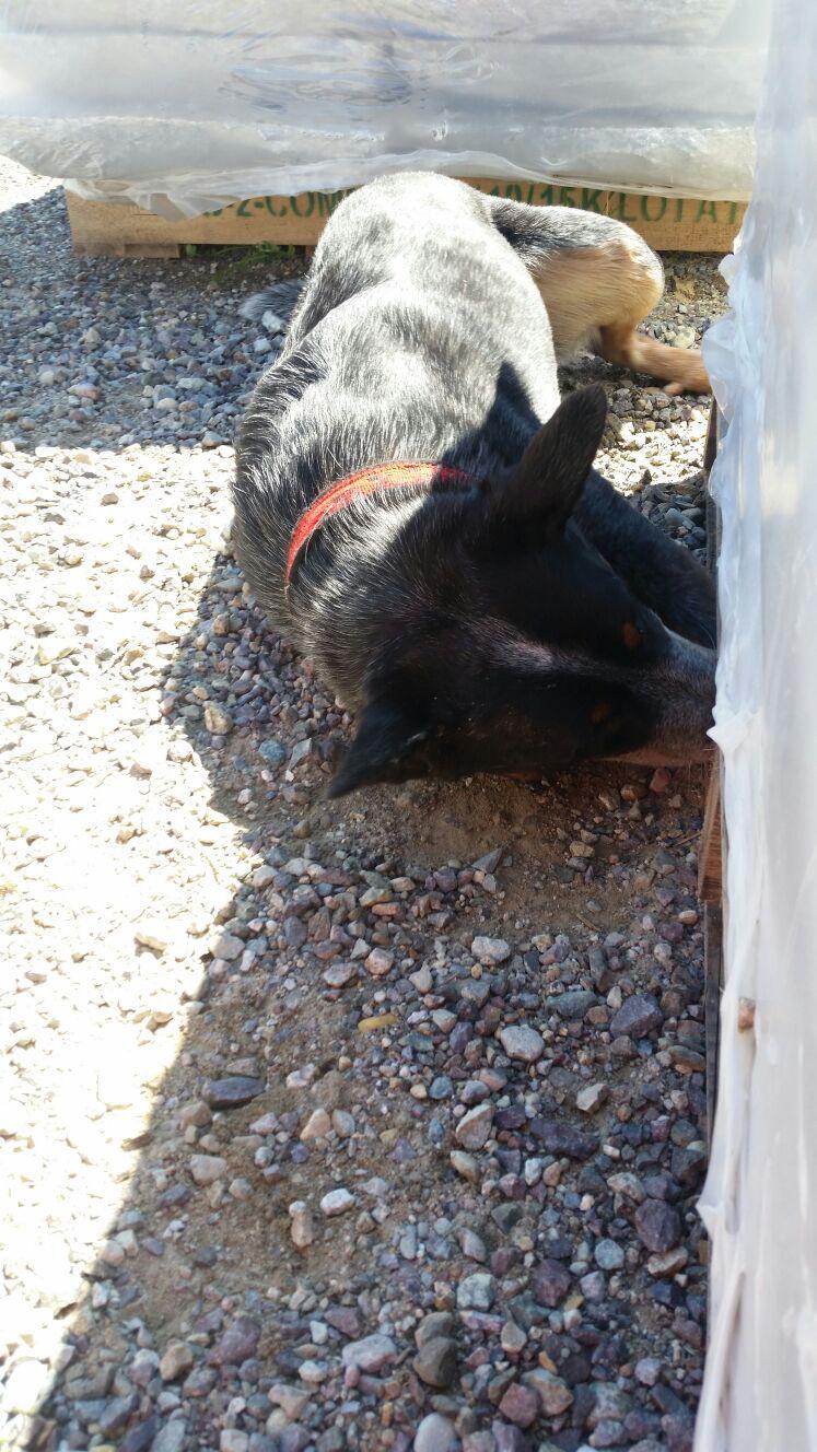 Asiatischer Laubholzbockkäfer Fritz LeeSpürhund