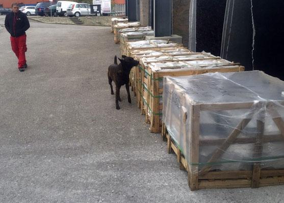 Asiatischer Laubholzbockkäfer Spürhunde