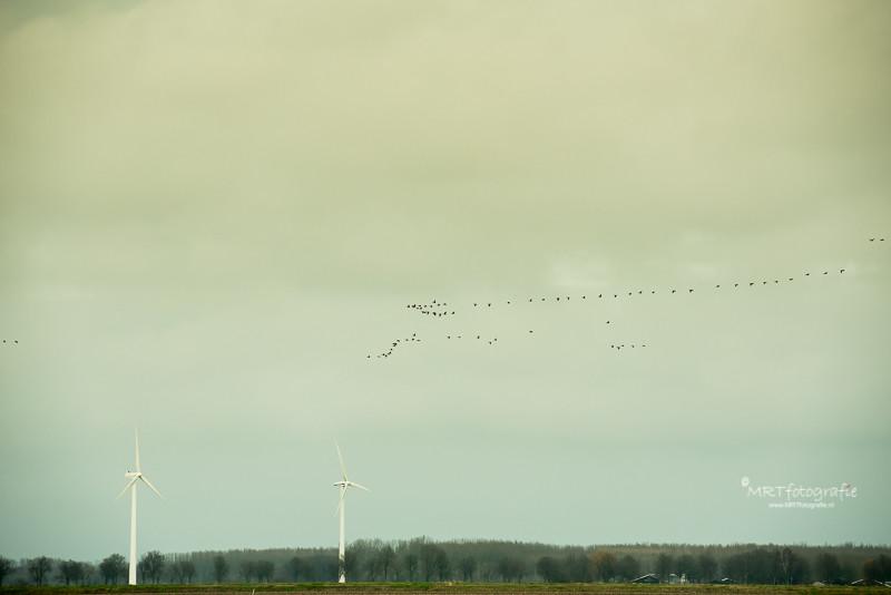 Vogeltrek boven de Oostvaarders Plassenmet een vreemde lichtval