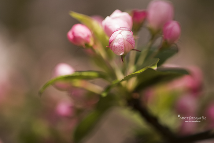Rozebloesem  bloemknoppen, macrofotografie