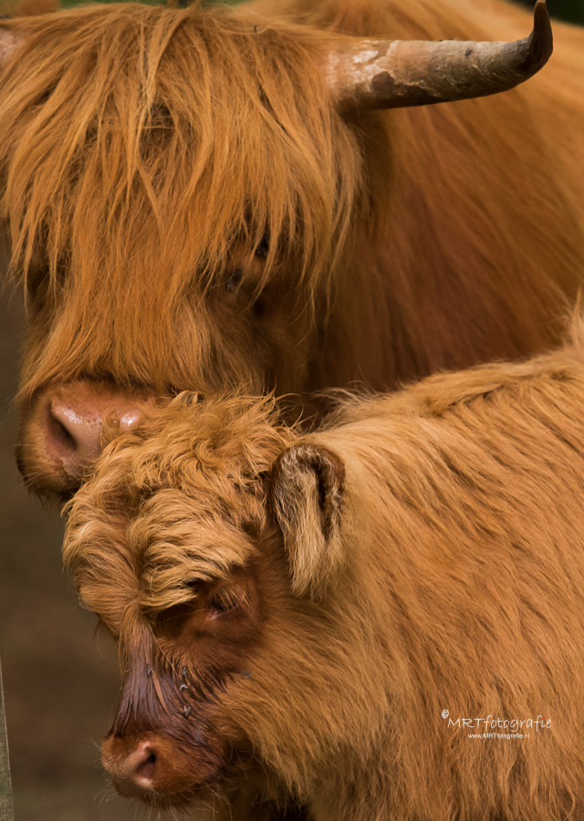 Close up moeder en kalf Schotse hooglanders