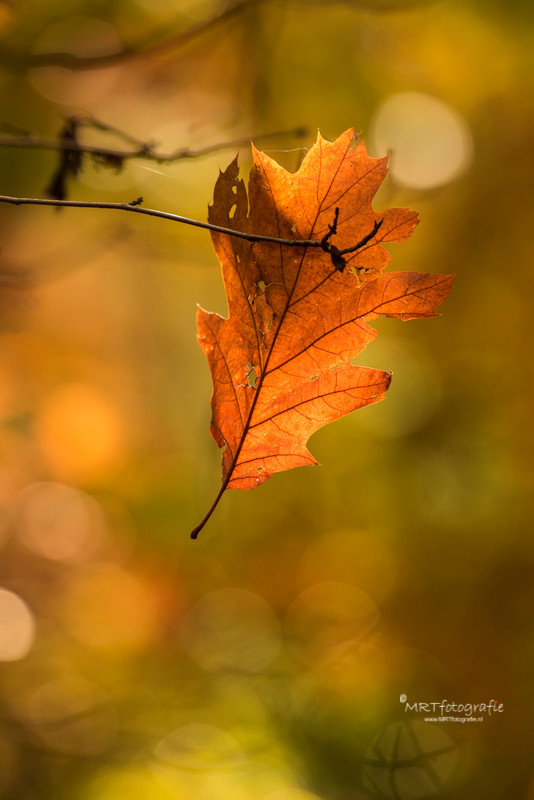 Door het zonlicht als tegenlicht tegebruiken komt de oranje kleur van het blad mooi uit