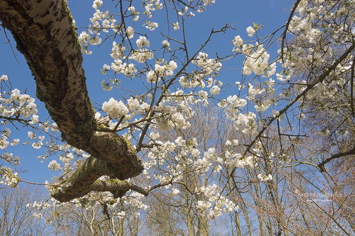 Boom met witte bloesem tegen blauwe lucht in kikvorsperspectief